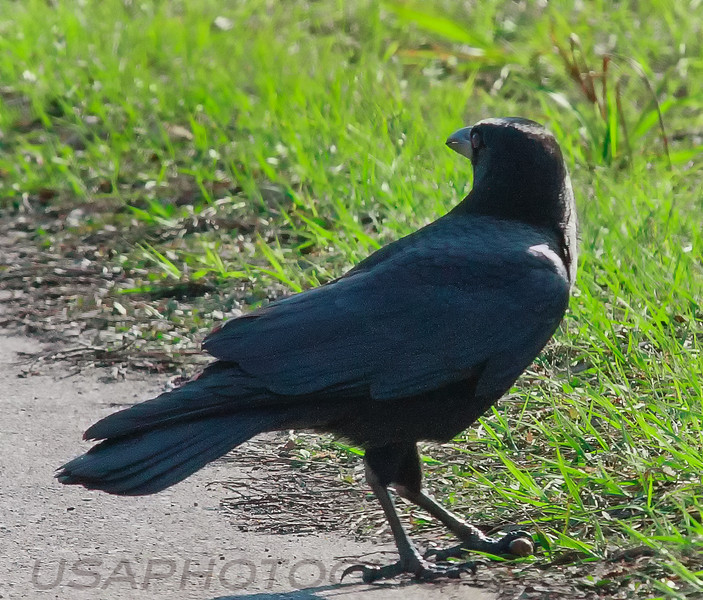 American Crow (b0241)