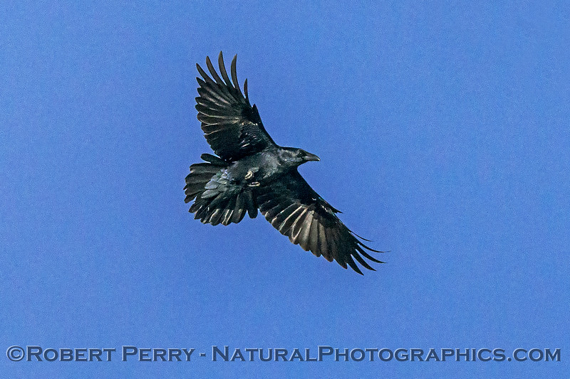 Corvus corax Raven in flight 2017 11-11-Sac NWR-d-002