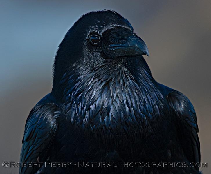 Corvus corax Raven HEAD PORTRAIT CLOSE 2021 02-17 Pt Arena-144