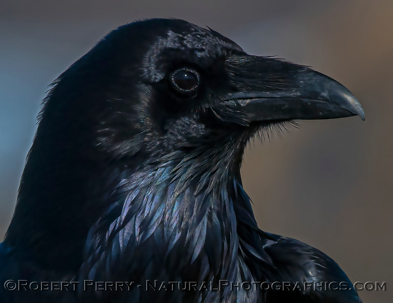 Corvus corax Raven HEAD PORTRAIT CLOSE 2021 02-17 Pt Arena-115