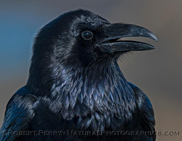 Corvus corax Raven HEAD PORTRAIT CLOSE 2021 02-17 Pt Arena-152