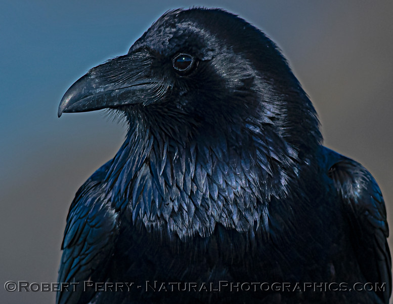 Corvus corax Raven HEAD PORTRAIT CLOSE 2021 02-17 Pt Arena-139