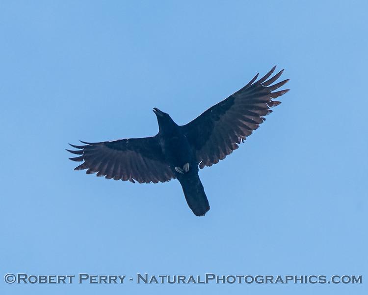 Corvus corax in flight 2018 03-30 Woodland-0005