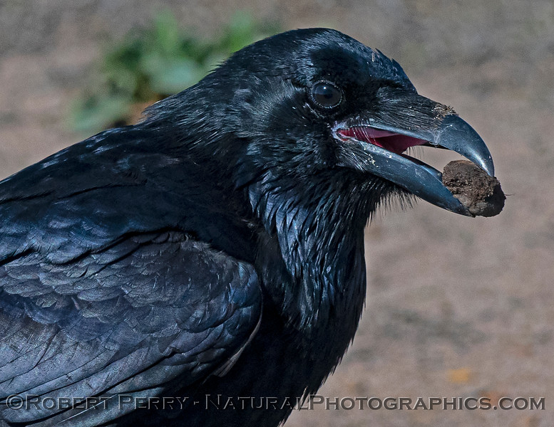 Corvus corax Raven 2021 09-28 Pt Arena--021