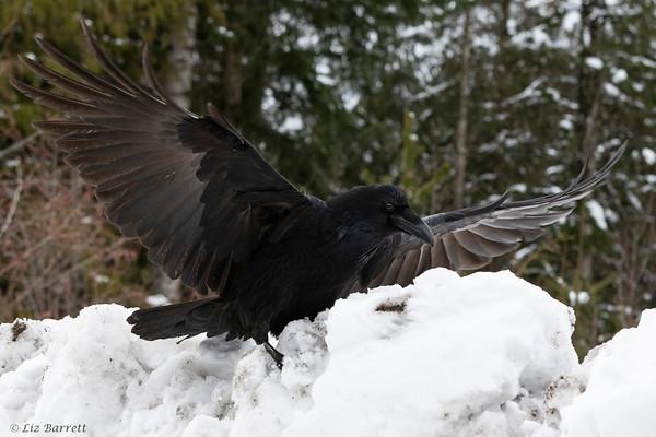 202A1967_Raven