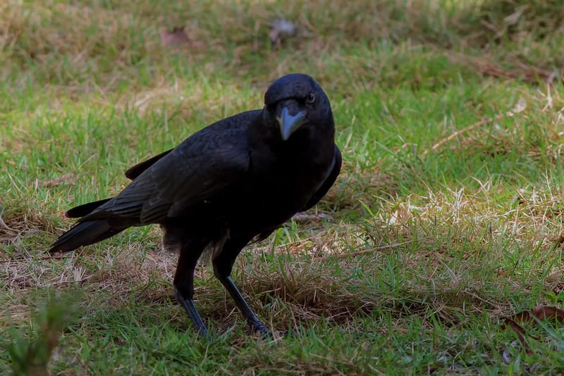 American Crow (b0243)