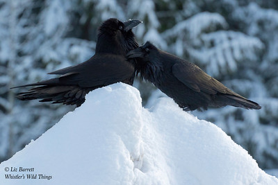_J3A1028_Ravens