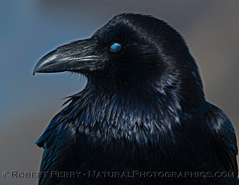 Corvus corax Raven nictitating membrane HEAD PORTRAIT CLOSE 2021 02-17 Pt Arena-165