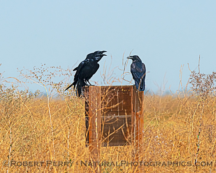 Corvus brachyrhnchus 2 mouths open on sign 2020 09-16 Yolo ByPass-008