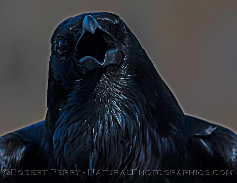 Corvus corax Raven MOUTH OPEN PORTRAIT CLOSE 2021 02-17 Pt Arena-089
