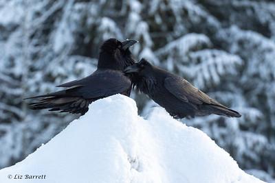 _J3A1028 Ravens