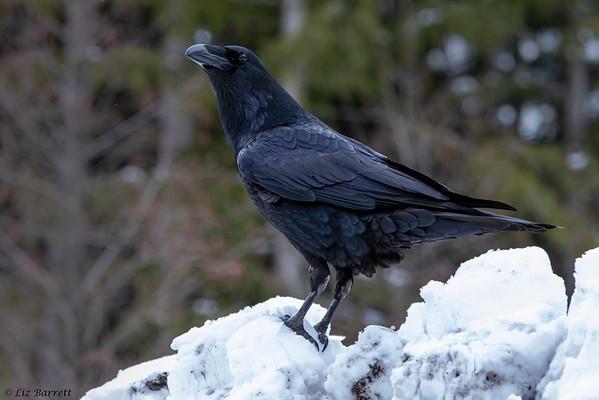 202A1941_Raven