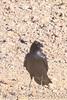 Common Raven (b1822)