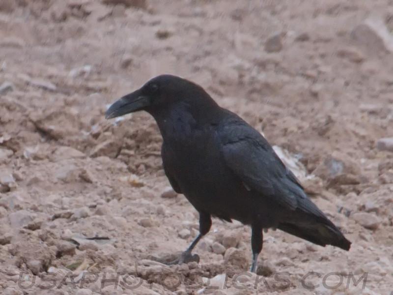 Common Raven (b1821)