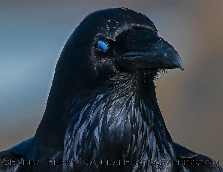 Corvus corax Raven nictitating membrane CLOSE 2021 02-17 Pt Arena-113