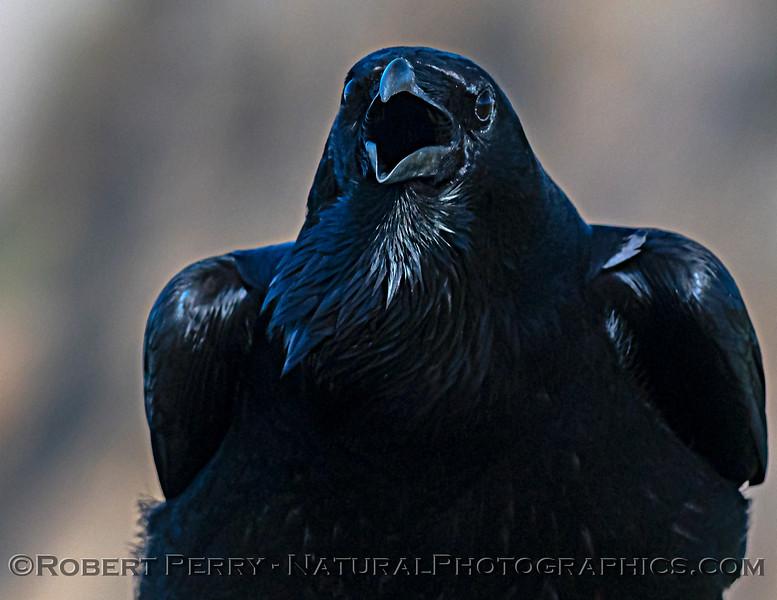 Corvus corax Raven MOUTH OPEN PORTRAIT CLOSE 2021 02-17 Pt Arena-092