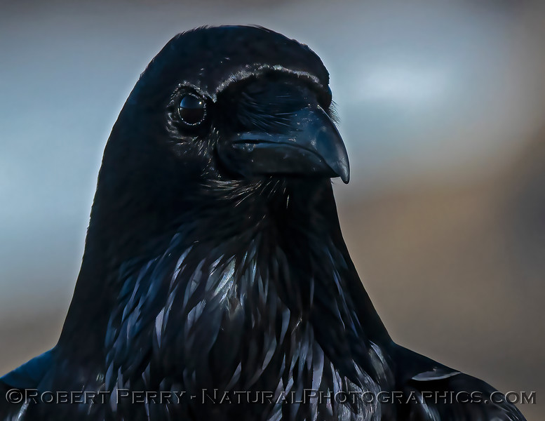 Corvus corax Raven HEAD PORTRAIT CLOSE 2021 02-17 Pt Arena-102