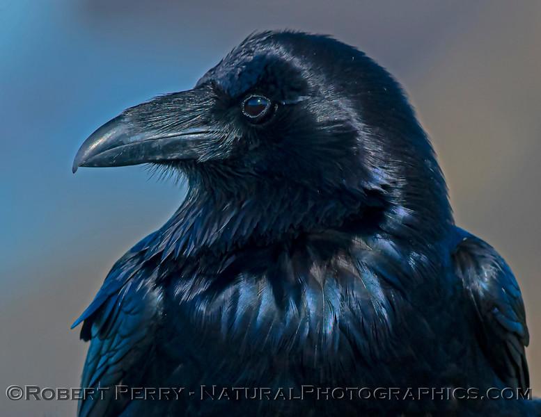 Corvus corax Raven HEAD PORTRAIT CLOSE 2021 02-17 Pt Arena-164