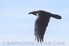 Chihuahuan Raven (b1823)