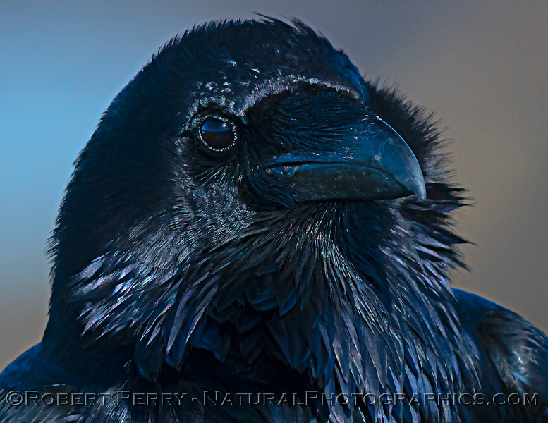 Corvus corax Raven HEAD PORTRAIT CLOSE 2021 02-17 Pt Arena-149