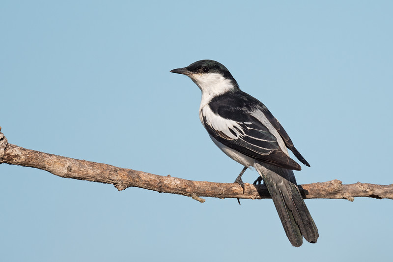 White-winged triller male (Lalage sueurii)