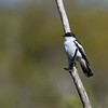 White-winged triller (Lalage sueurii)