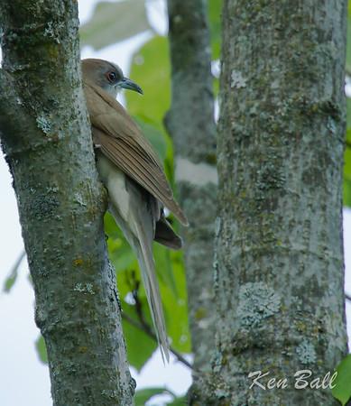 black-billed cuckoo: Coccyzus erythropthalmus, Chemin Saint-Columban, Gatineau, Quebec