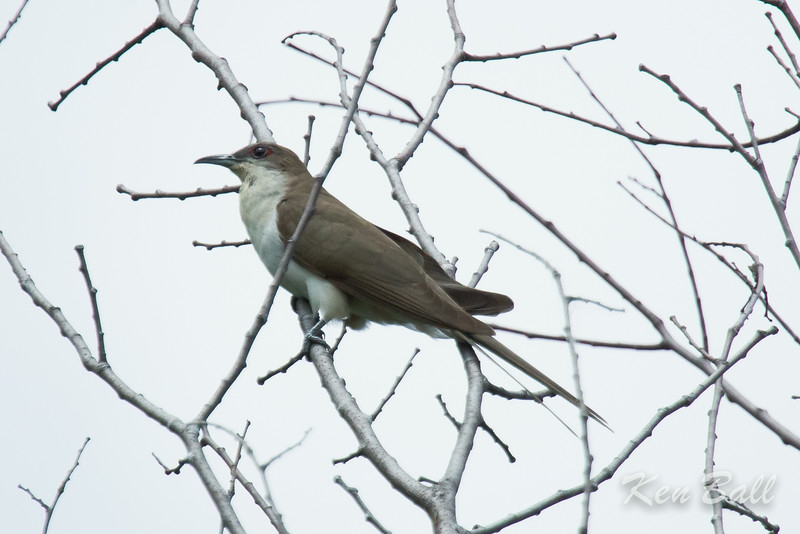 black-billed cuckoo: Coccyzus erythropthalmus, Thomas Dolan Parkway
