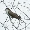 black-billed cuckoo: Coccyzus erythropthalmus, Thomas Dolan Parkway