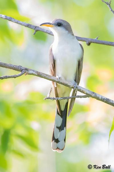 Thomas Dolan Parkway, yellow-billed cuckoo: Coccyzus americanus,Ottawa--Dunrobin (Carp Hills), Ottawa County, Ontario, CA
