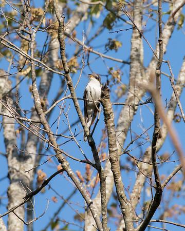 Cuckoos & Their Allies
