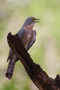 Common Hawk Cuckoo - Bandhavgarh National Park, Madhya Pradesh, India