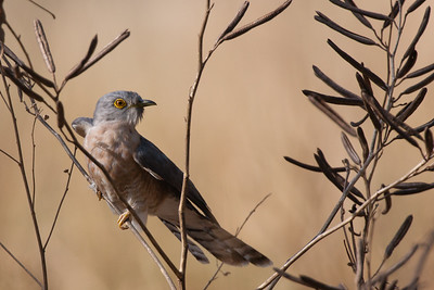 Common Hawk Cuckoo - Kanha National Park, Madhya Pradesh, India