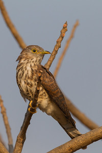 Common Hawk Cuckoo - Ameenpur Lake, Hyderabad, India