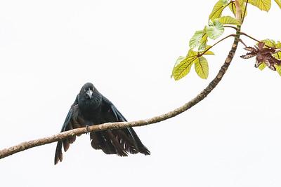 Greater Ani - Amazon, Ecuador