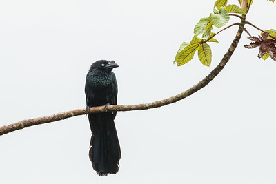 Greater Ani - Amazon, Ecuador