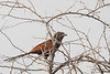 Southern Coucal - Record - Kutch, Gujrat, India