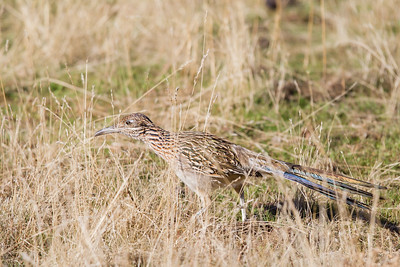 Greater Roadrunner hunting - Mines Road, CA, USA