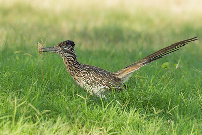 Greater Roadrunner - Edinburg, TX, USA