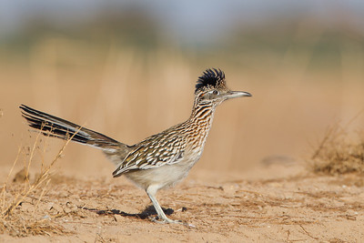 Greater Roadrunner - Salton Sea, CA, USA