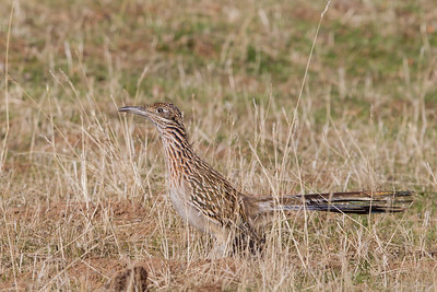 Greater Roadrunner - Mines Road, CA, USA