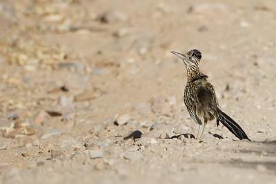 Greater Roadrunner - Carr Canyon, Nr. Sierra Vista, AZ, USA