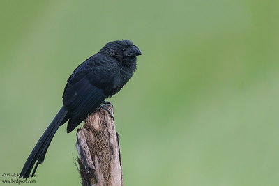Gtoove-billed Ani - Crooked Tree, Belize