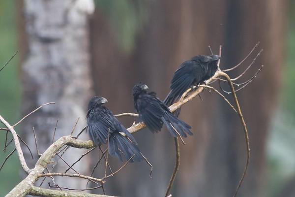 Cuckoos - Cuculidae