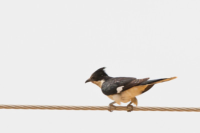 Pied Cuckoo - Kutch, Gujrat, India