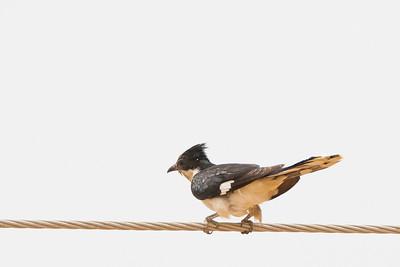 Jacobin Cuckoo - Kutch, Gujrat, India
