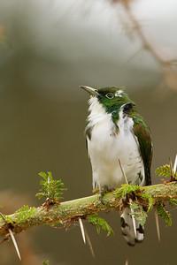 Klaas's Cuckoo - Lake Manyara National Park, Tanzania