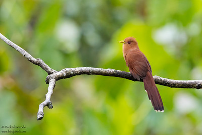 Little Cuckoo - Amazon, Ecuador