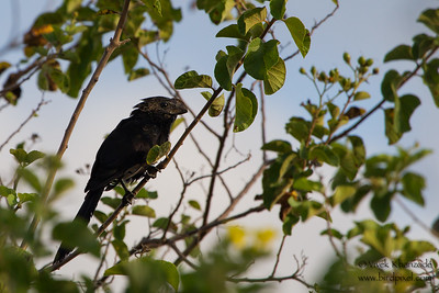 Smooth-billed Ani - Urvina Bay, Isla Isabela, Galapagos, Ecuador