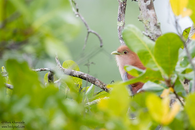 Squirrel Cuckoo - Record - Crooked Tree, Belize
